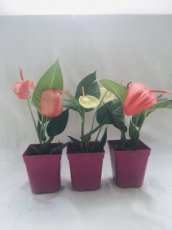 Anthurium Queue de Cochon 1L